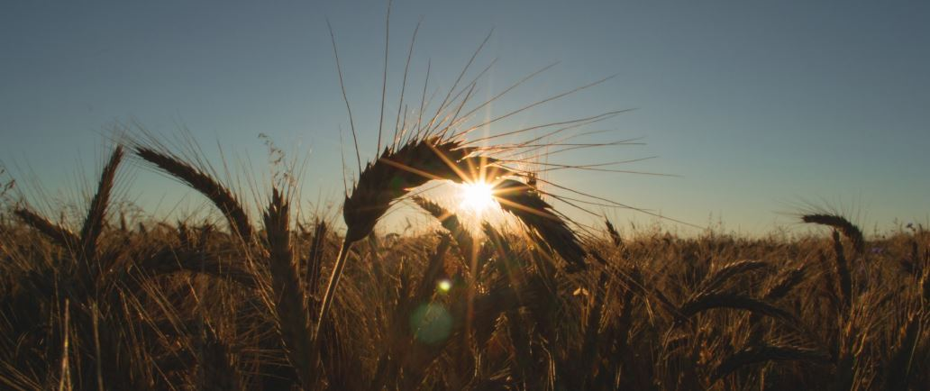 Genesis Grain & Fertilizer. Looking at a wheat field with the sun peaking behind a plant.