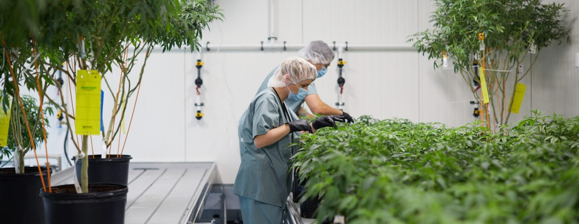 Auxly Cannabis Group Inc, view of people working on plants.