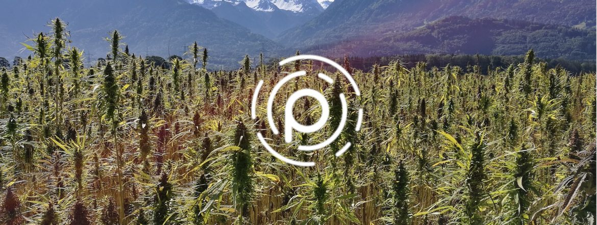 Pebble Global Holdings logo with a field of hemp behind.
