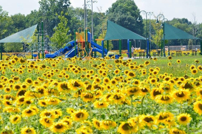Shelbyville, Indiana park in the background with sunflowers in the foreground.