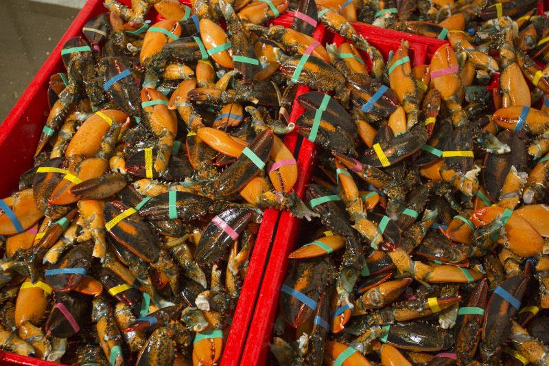 Shediac Lobster Shop Ltd. lobster bin closeup.