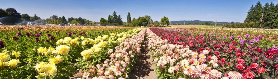 Canby, Oregon field of flowers.